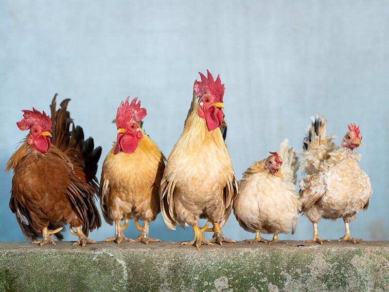 elevage-poule-avicole
