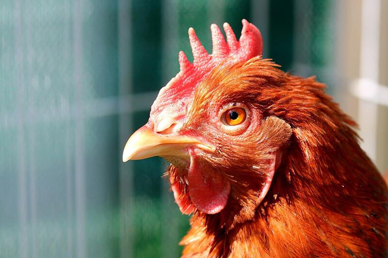 entretien-poule-avicole